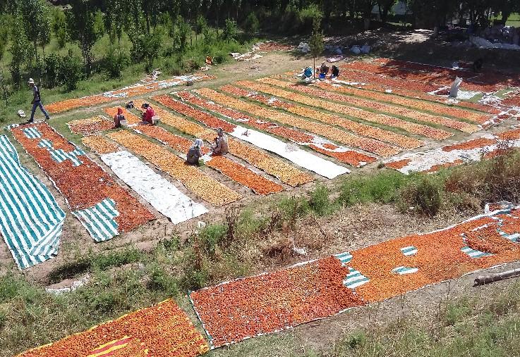 Working to save apricots in Tajikistan