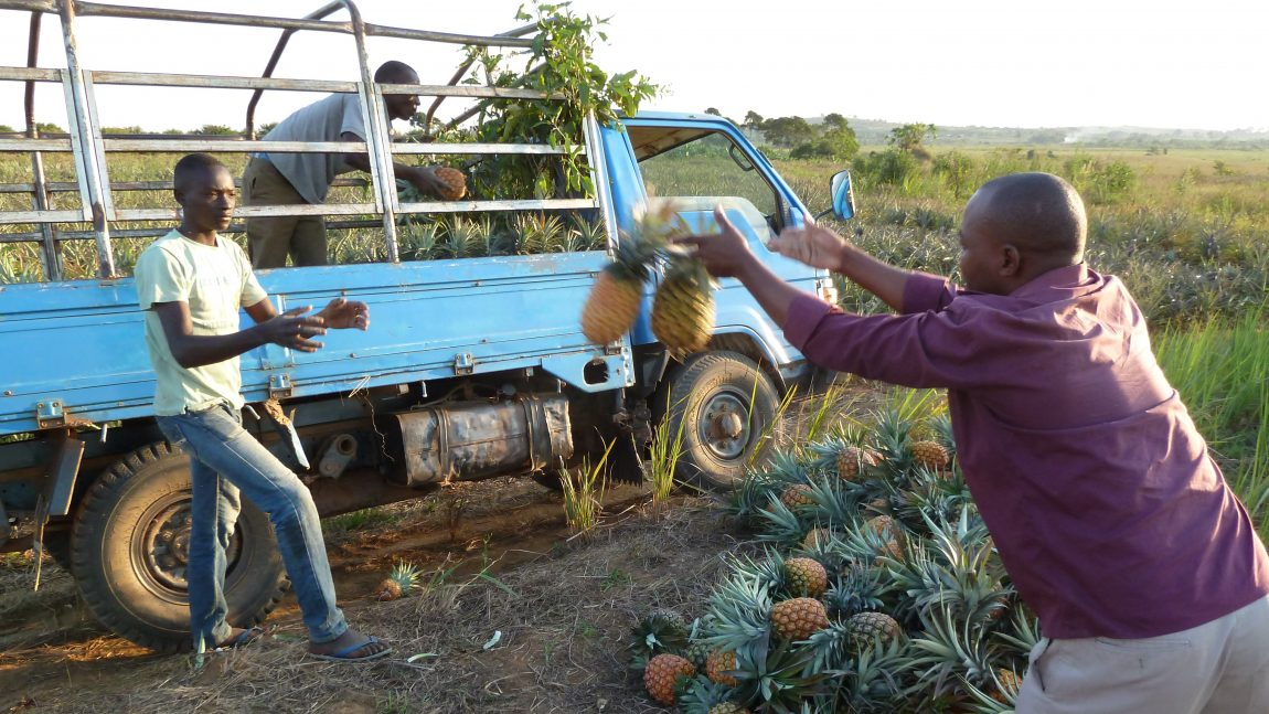 Flying pineapples – Re-considering losses in a fruit supply chain in Uganda